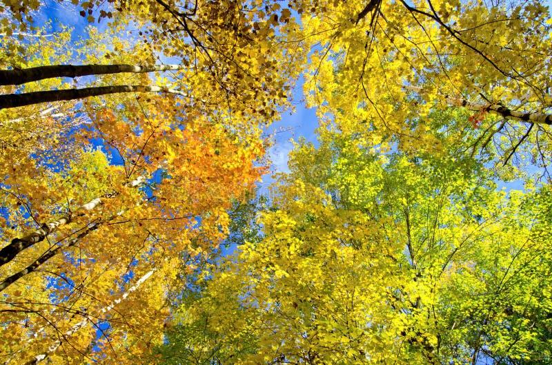 Treetops van de esp en van de esdoorn, de herfst stock foto's