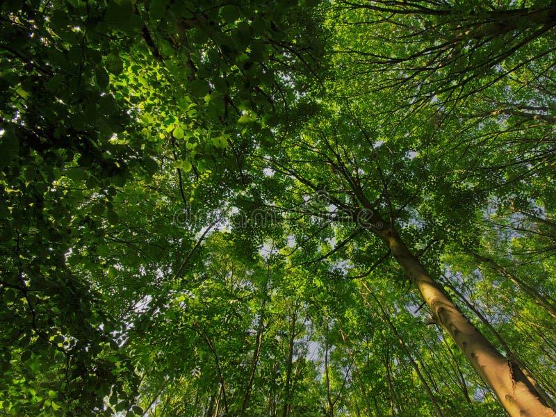 Treetops z świeżymi zielonymi wiosna liśćmi zdjęcie royalty free