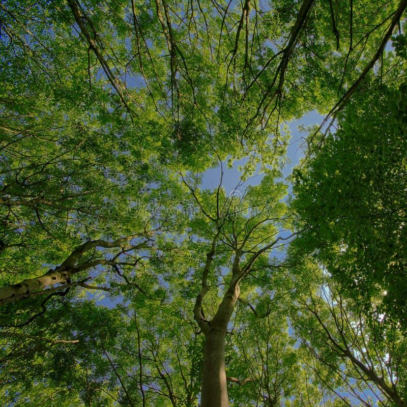 Treetops z świeżymi zielonymi wiosna liśćmi, niebieskim niebem i fotografia stock