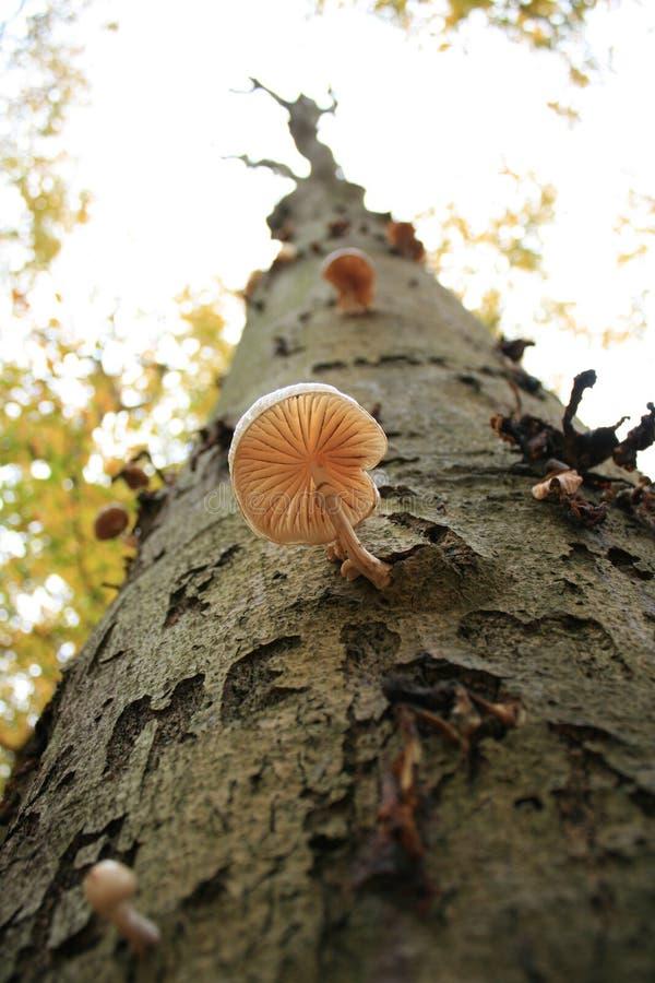 treetrunk de champignon de couche images stock