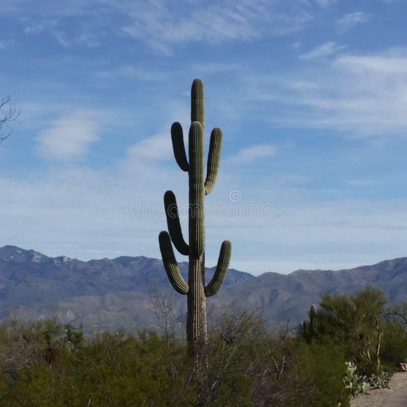 Trefaldiga Decker Saguaro arkivfoto