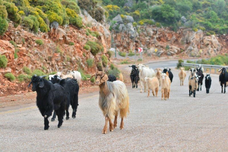 Treffen einer Herde der wilden Ziegen während des Wanderns stockbilder