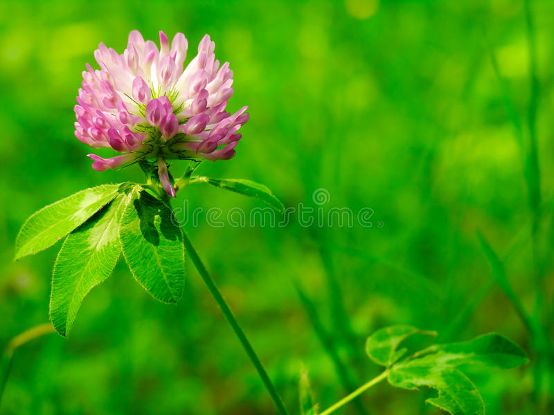 Trefoil. In a grass of mountain stock photo