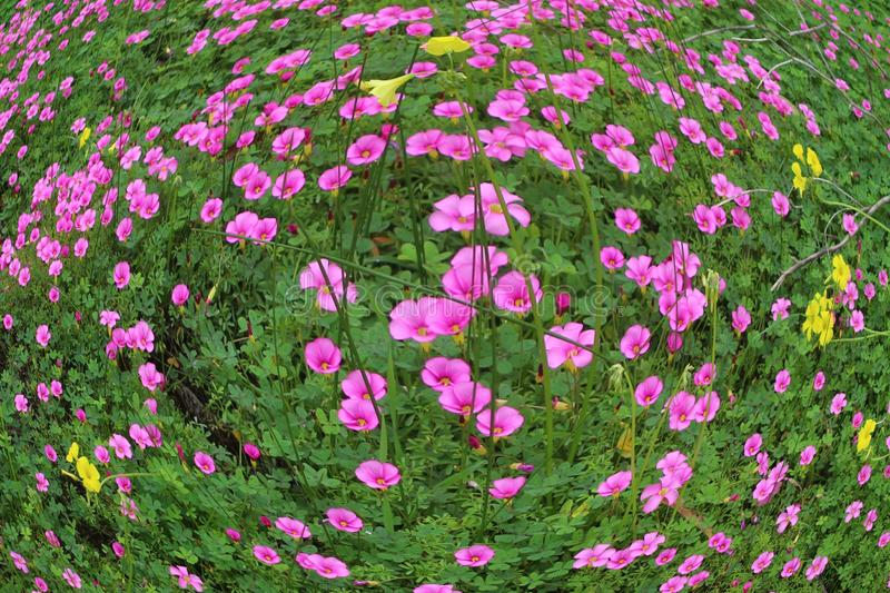 Trefoil leaves with pink flowers edited using fish eye camera effect download trefoil leaves with pink flowers edited using fish eye camera effect stock photo image mightylinksfo