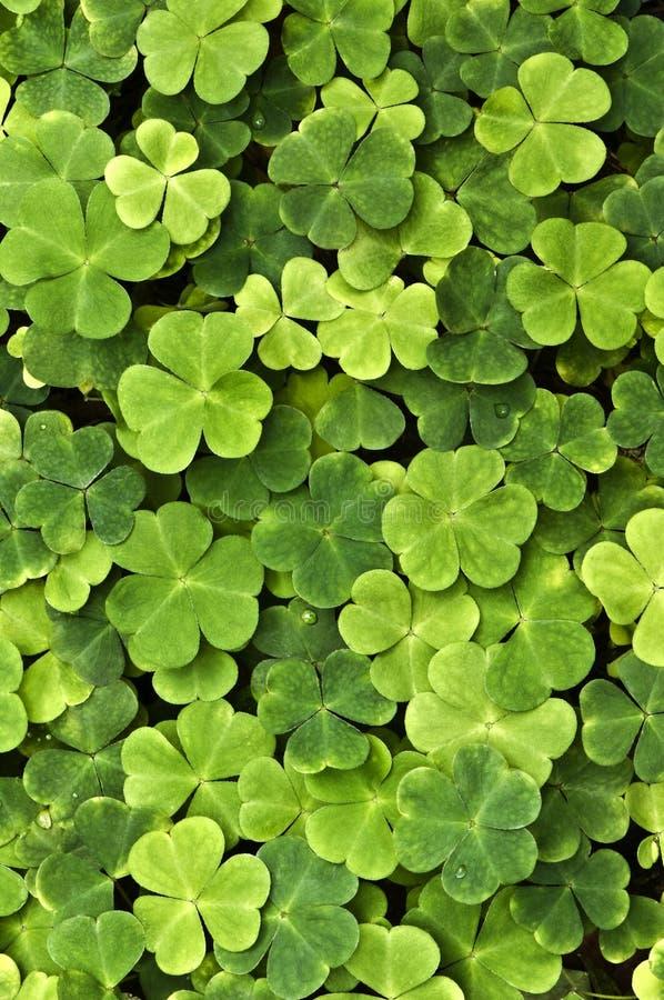 Trefoils - vegetação de floresta imagens de stock