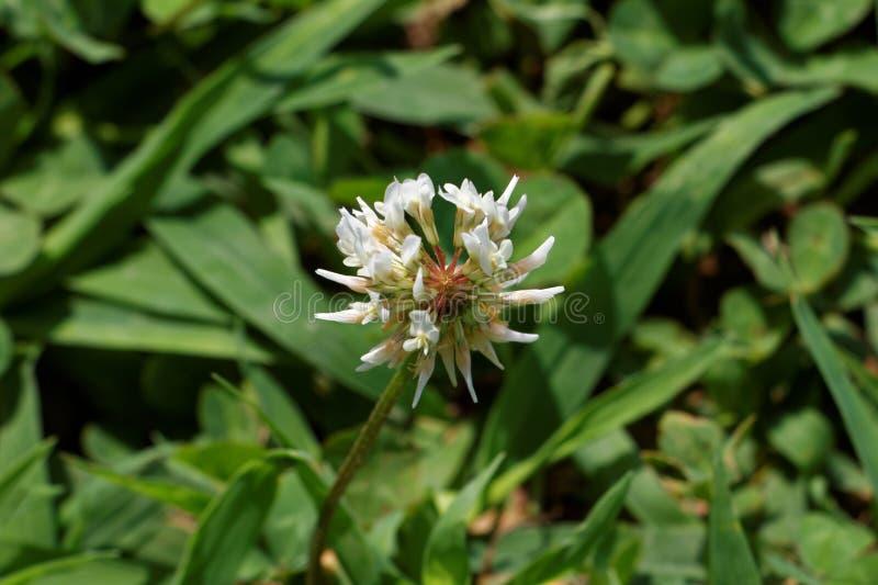 Trefoilväxt av släktet Trifolium på en gräsmatta arkivfoto