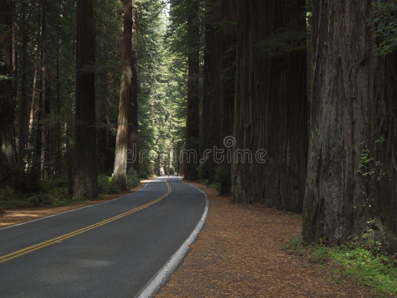 Treiben Sie durch die Kalifornien-Rothölzer an stockfotografie