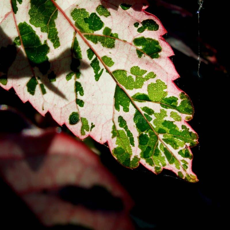 Treiben Sie im Sonnenlicht glühend Blätter stockbild