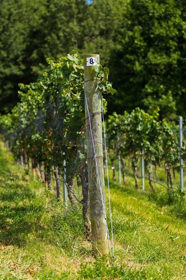 Treillis de vignoble et vigne photographie stock