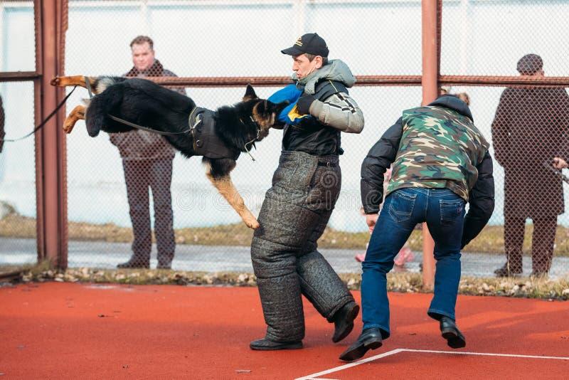 Treinamento alemão do cão-pastor em Gomel regional fotos de stock royalty free
