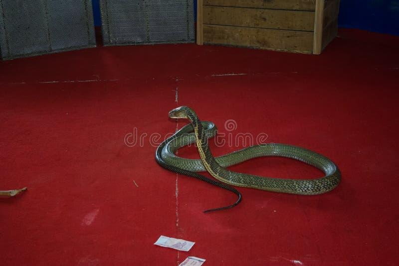 Treinamento da cobra, desempenho com cobras treinadas, instrutor da serpente fotos de stock royalty free