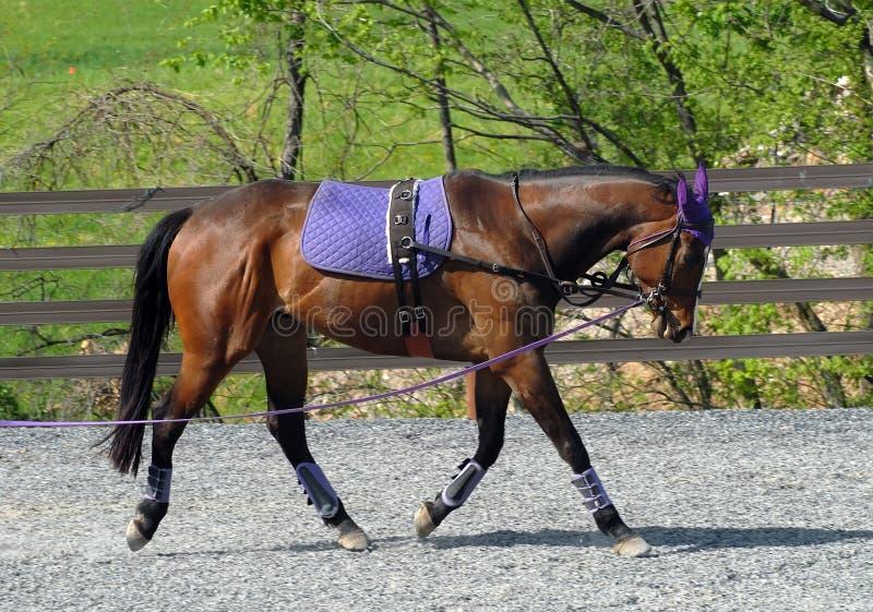 Treinamento do cavalo fotografia de stock royalty free