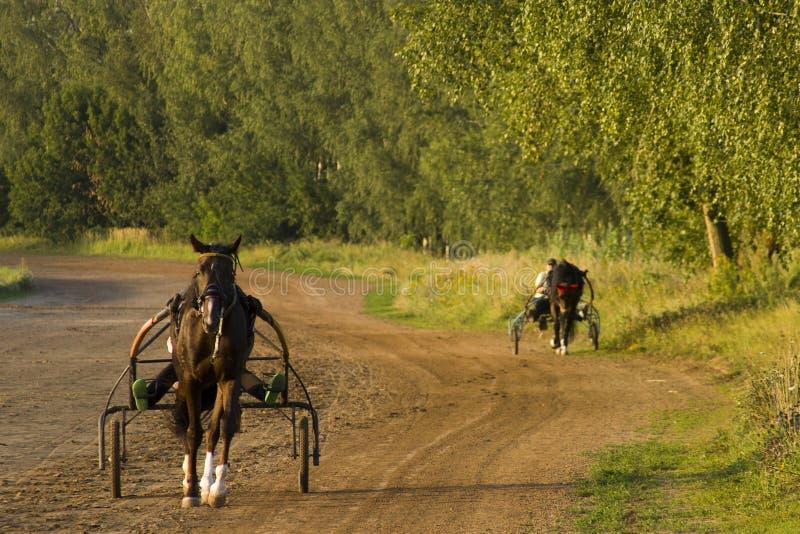 Treinamento do cavalo na pista Paisagem do verão com cavalos fotografia de stock
