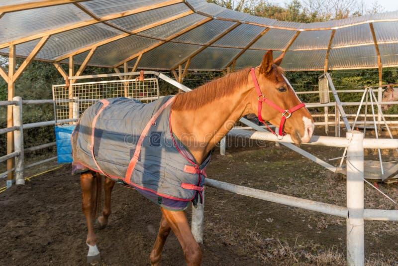 Treinamento do cavalo no carrossel imagem de stock