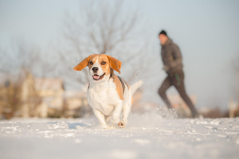Treinamento fora no tempo nevado frio com cão do lebreiro foto de stock
