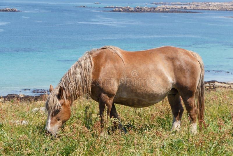 Trek Bretons paard op een gebied in Bretagne stock afbeelding