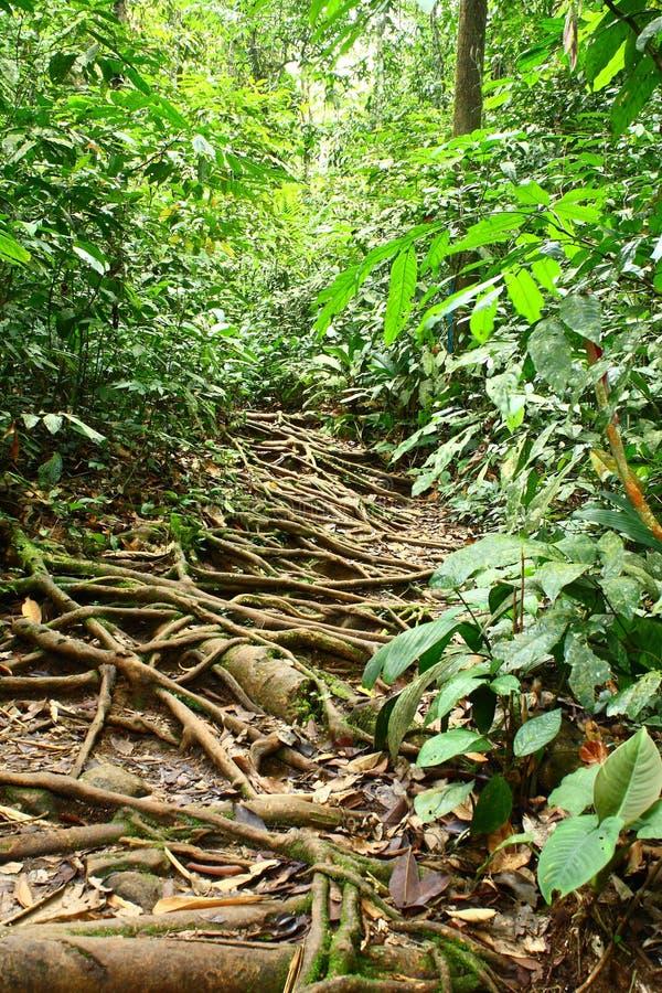 Trek van het regenwoud met de Lange Wortels van de Boom royalty-vrije stock foto's