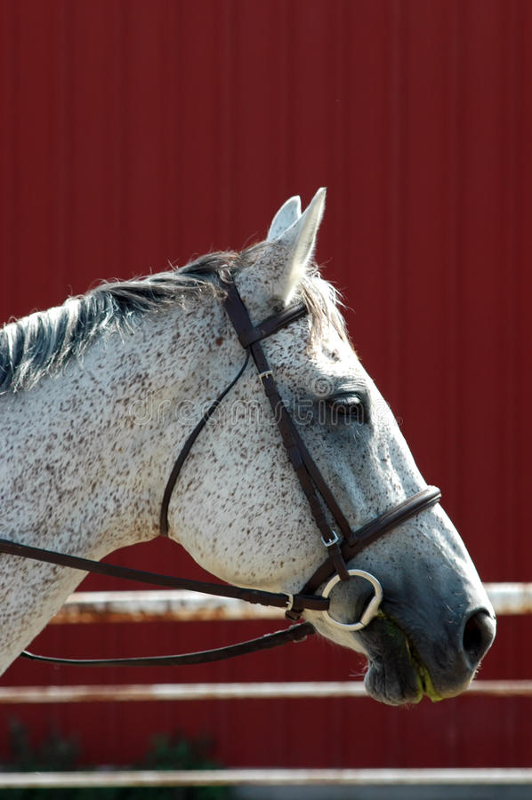 Download Trekehner grey horse stock photo. Image of snaffle, horse - 10837786