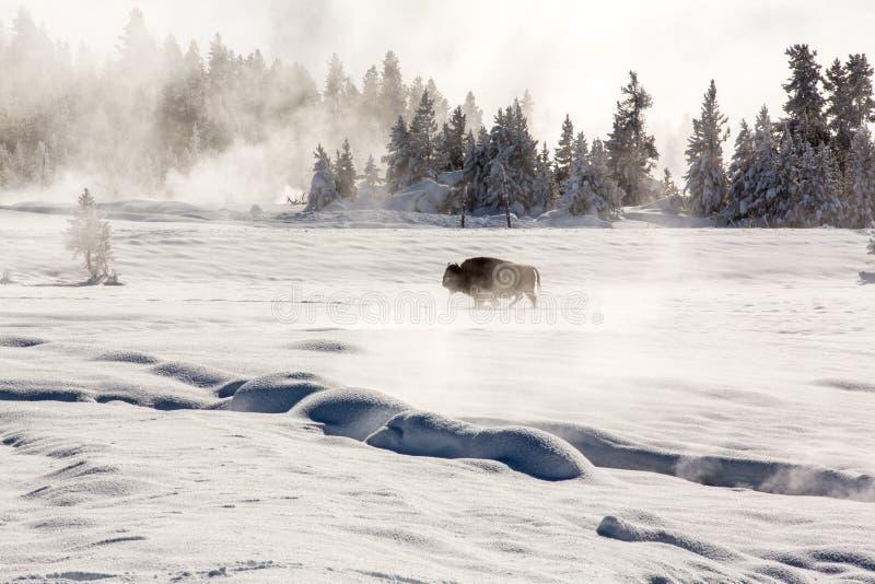 Trekking solo del bisonte attraverso i campi nevosi fotografia stock