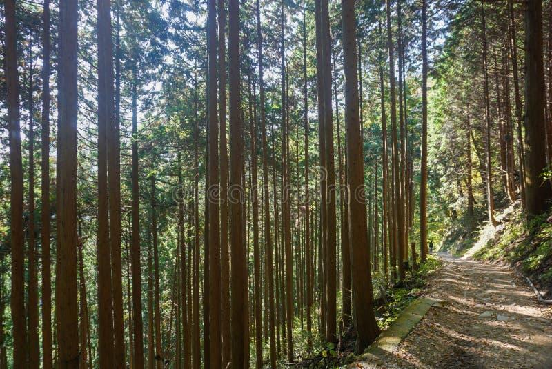 Trekking wlec wzdłuż iglastego drzewa w lesie przy Mitake w Japonia fotografia stock