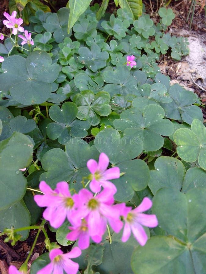 Treklöverväxter av släktet Trifolium med purpurfärgade blommor arkivfoton