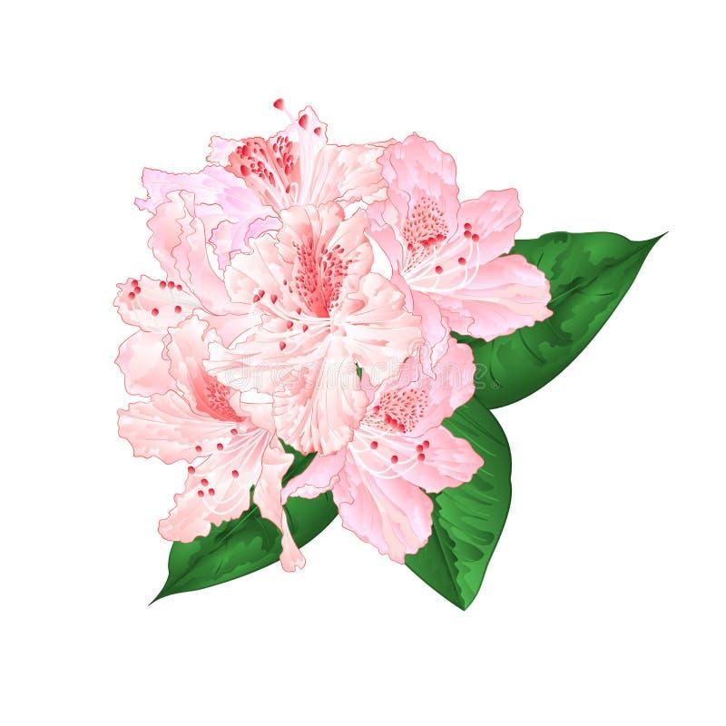 Trekt de bloemen lichtrose rododendron met bladeren op een witte achtergrond uitstekende vectorillustratie editable hand vector illustratie