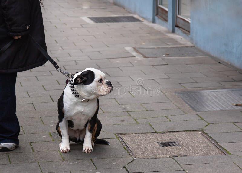 Trela do cão do ponto na rua de assento do buldogue inglês imagens de stock royalty free