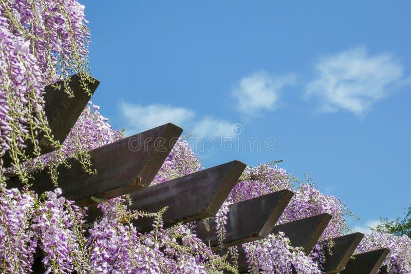 Trellis Wisteria με το μπλε ουρανό στοκ εικόνες