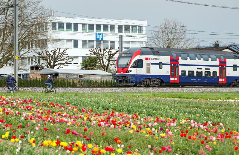 Trem de dois andares suíço que passa pelo campo das tulipas Cidade do homem poderoso, cantão de Zug, Suíça imagens de stock royalty free