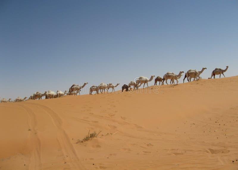 Trem do camelo fotografia de stock