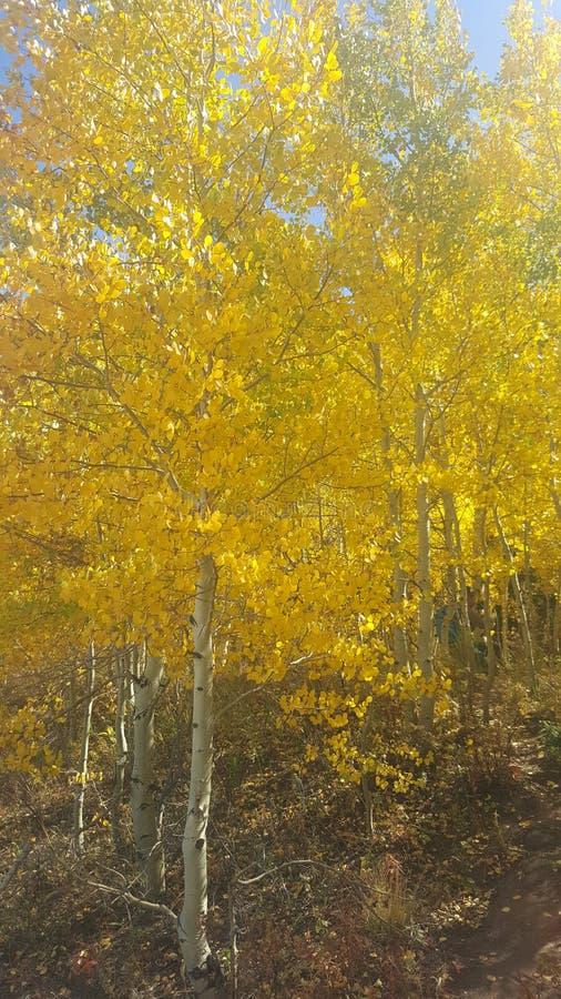Trembles du Colorado photos stock