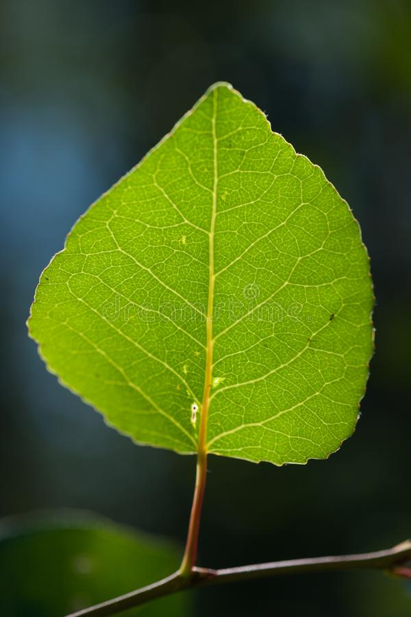 Tremendo Aspen Leaf - close-up imagens de stock royalty free