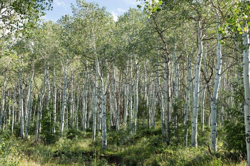 Tremendo o bosque do álamo tremedor fotografia de stock royalty free