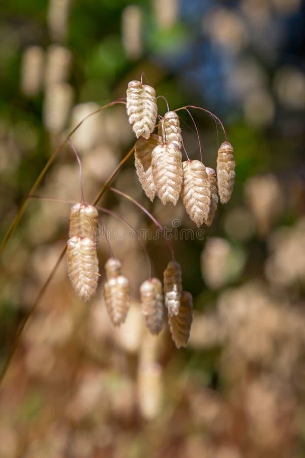 Tremendo vagens da semente da grama imagem de stock royalty free
