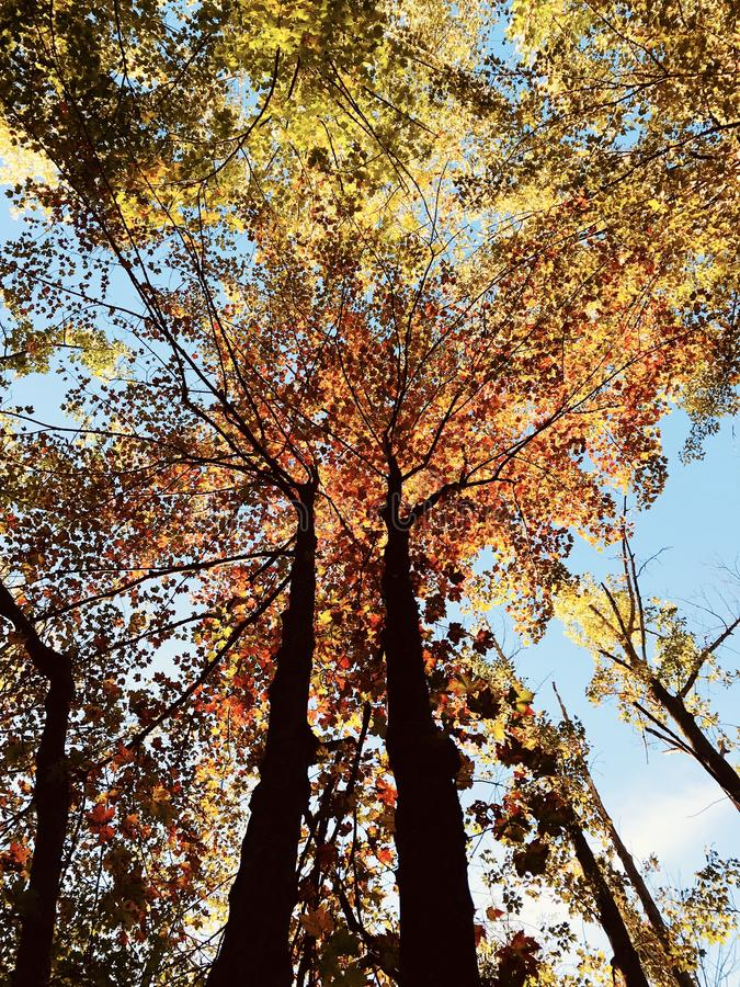 Tremendous fall foliage in the autumn sun - TREES - FALL. A leaf is an organ of a vascular plant and is the principal lateral appendage of the stem. The leaves stock photos
