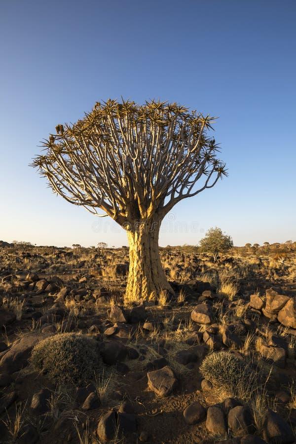 Tremer a árvore entre as rochas fotos de stock royalty free
