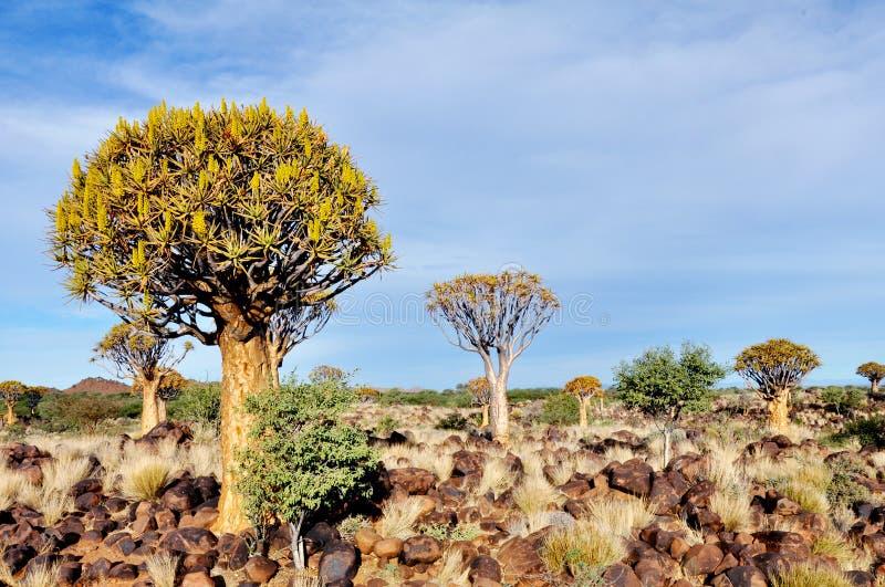 Tremer a floresta da árvore, fim da tarde, perto de Keetmanshoop, Namíbia fotos de stock