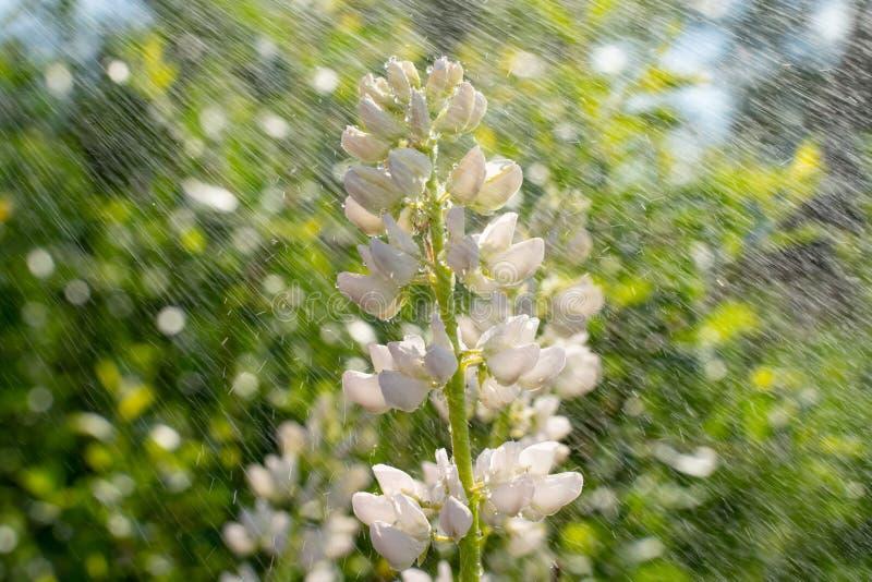 Tremoceiro de florescência branco bonito no close-up do prado Fundo natural bonito imagem de stock royalty free