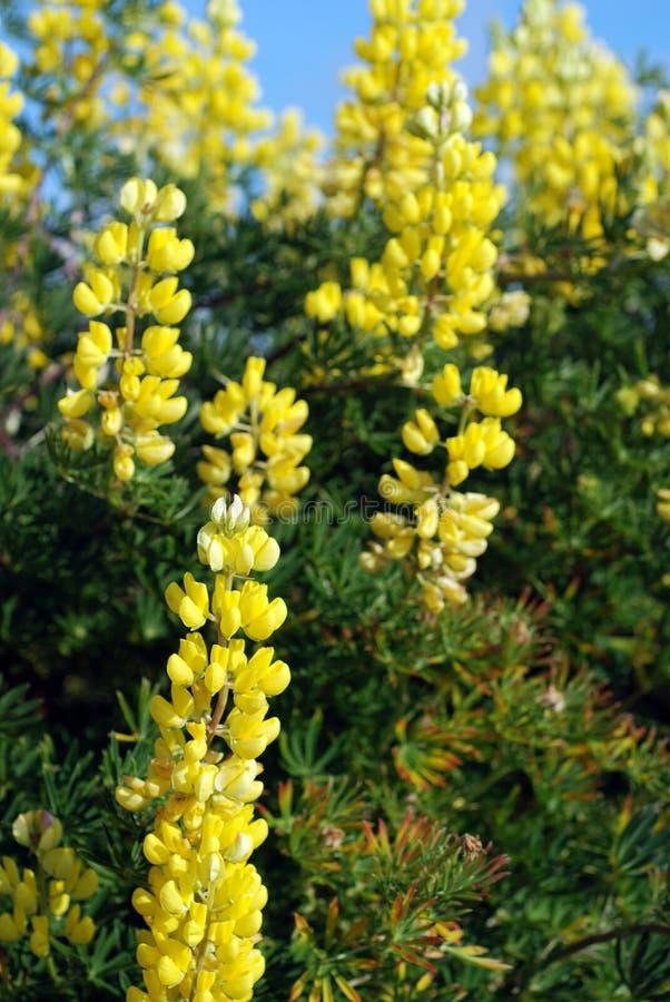 Tremoceiros amarelos do arbusto que crescem selvagens no beira-mar imagens de stock