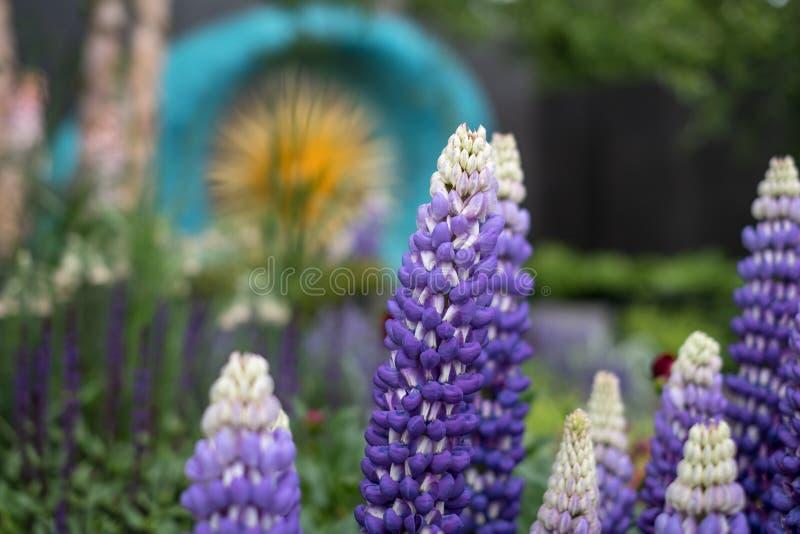 Tremoceiros roxos/azuis impressionantes no primeiro plano do jardim de vencimento da concessão em Chelsea Flower Show, Londres Re fotografia de stock royalty free