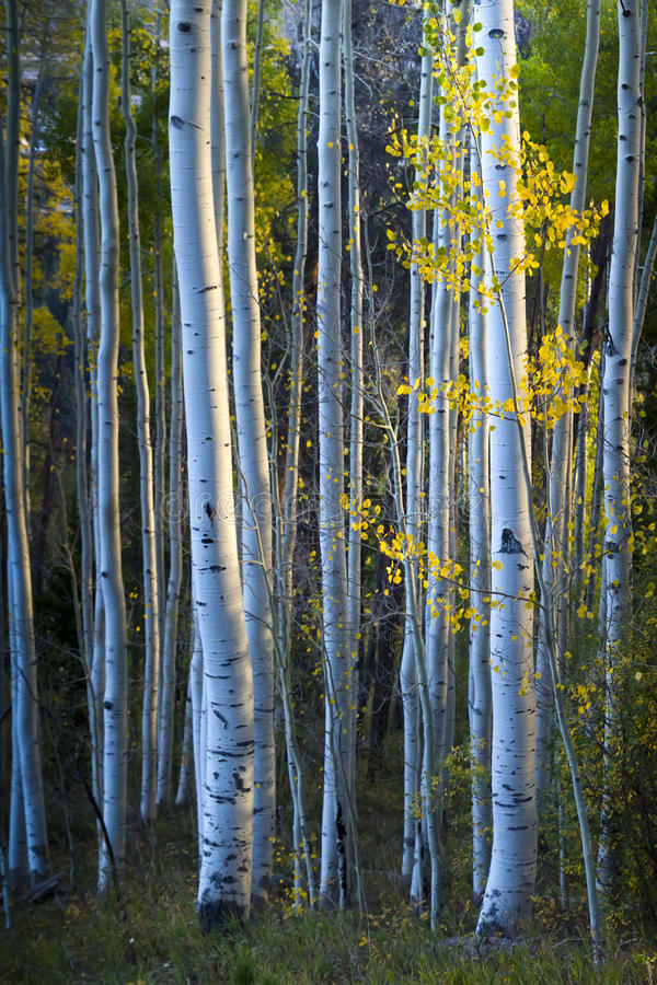 Tremule blu con le foglie di giallo di luce solare e di caduta di mattina fotografie stock