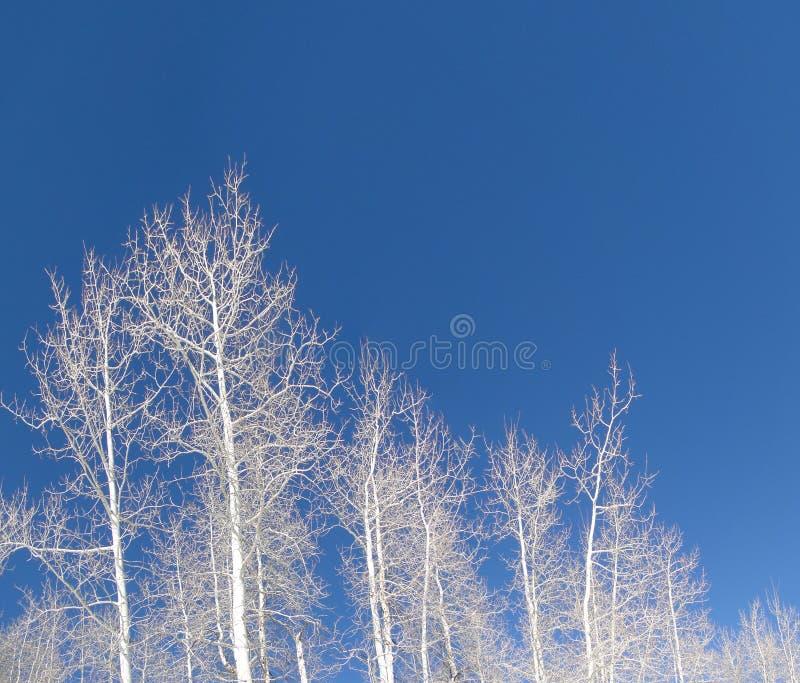 Tremule nude di inverno contro cielo blu profondo fotografia stock libera da diritti