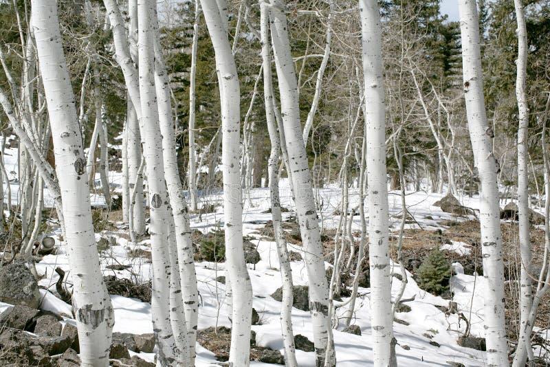 Tremule in primavera con neve fotografia stock