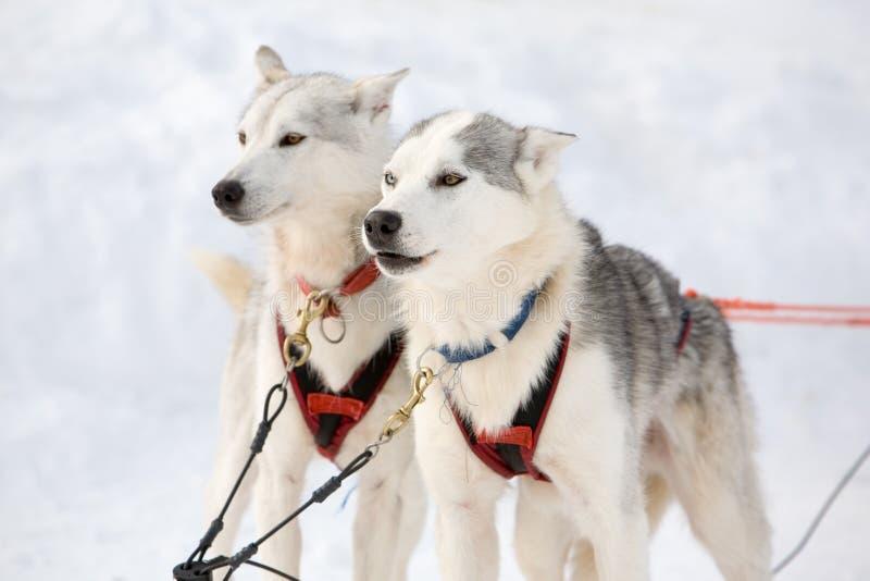 Trenó-cães roncos fotografia de stock royalty free