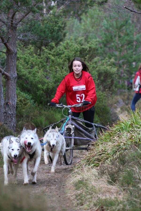 Download Trenó Do Cão Que Compete No SHCGB Foto Editorial - Imagem de trenó, clube: 65575626