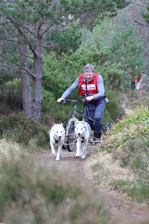Download Trenó Do Cão Que Compete No SHCGB Foto de Stock Editorial - Imagem de raça, cão: 65577498