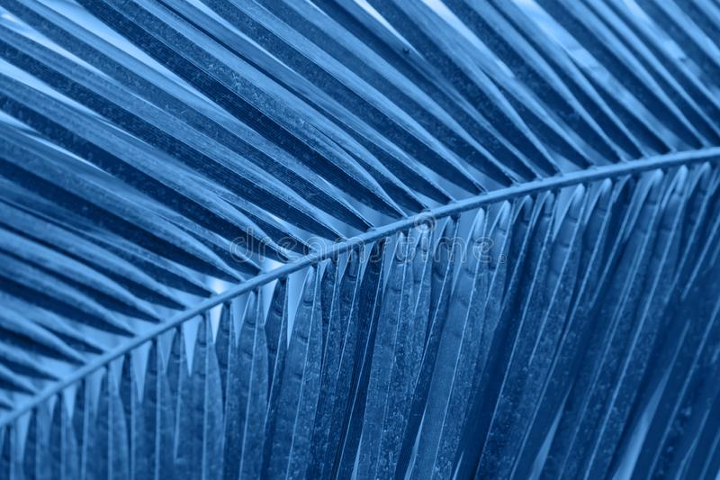 Trend color 2020 classic blue, background of green palm leaf.  stock photo