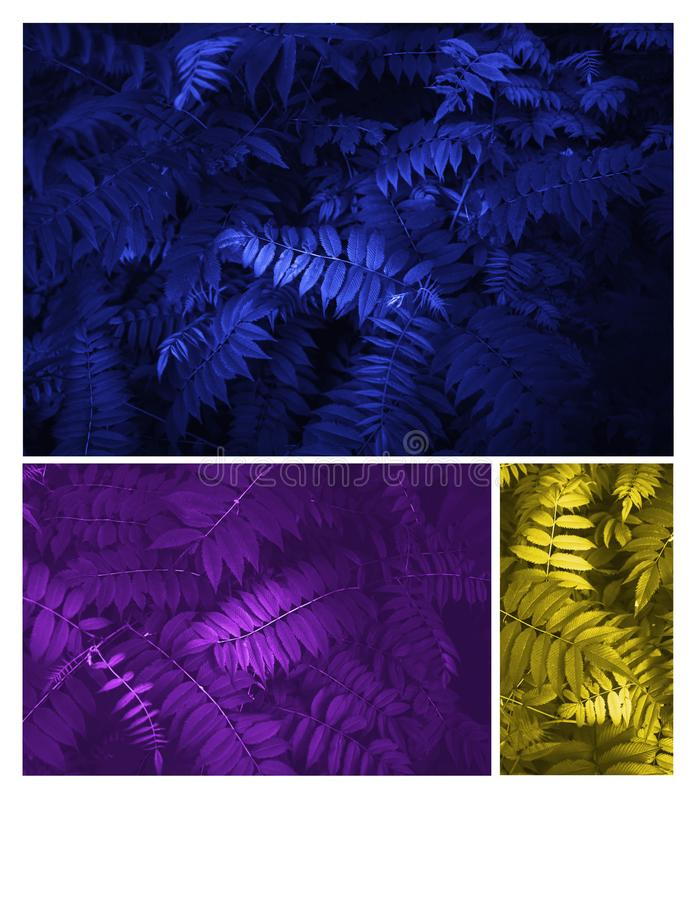 Glowing blue, yellow and purple leaves Pattern Beautiful Tropical. Trend Glowing blue, yellow and purple leaves composition. Beautiful neon fern leaves foliage royalty free stock photos