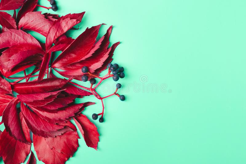 Trendy autumn background. Purple leaves and blue berries of wild grapes on mint background royalty free stock photography