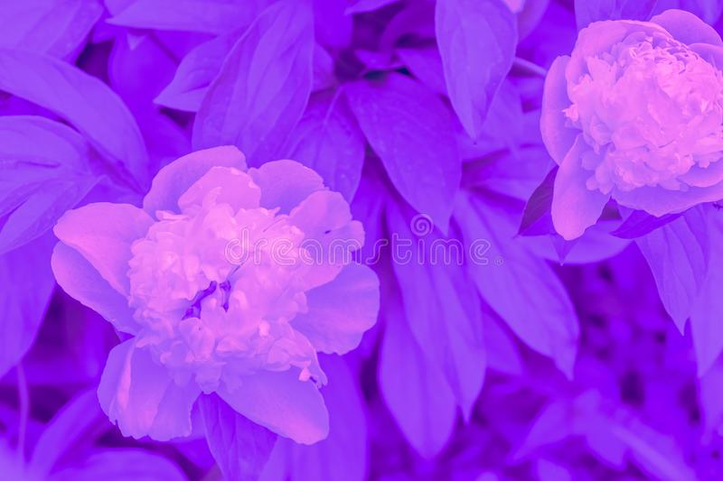 Trendy color ultra violet concept. Ultraviolet peony flower abstract background. royalty free stock photography